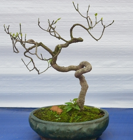 Beginner bonsai trees