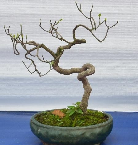 Beginner bonsai trees