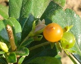 Fukien Tea Fruits