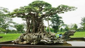 Ficus Benjamina tree