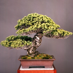 the oldest bonsai tree