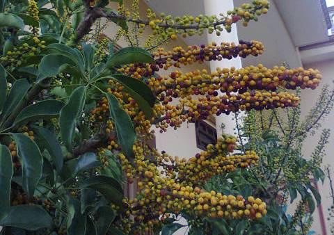 Schefflera Arboricola fruits